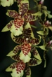 Little Man Orchid