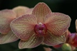 Red Orchid Veins
